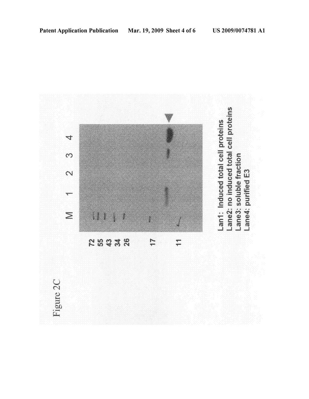 Dengue virus peptide vaccine and methods of preparing and using the same - diagram, schematic, and image 05