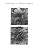 Gerbera with leafy flower stem trait and in bud shipping trait diagram and image