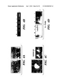 METHODS AND USES OF CAULIFLOWER AND COLLARD FOR RECOMBINANT PROTEIN PRODUCTION diagram and image