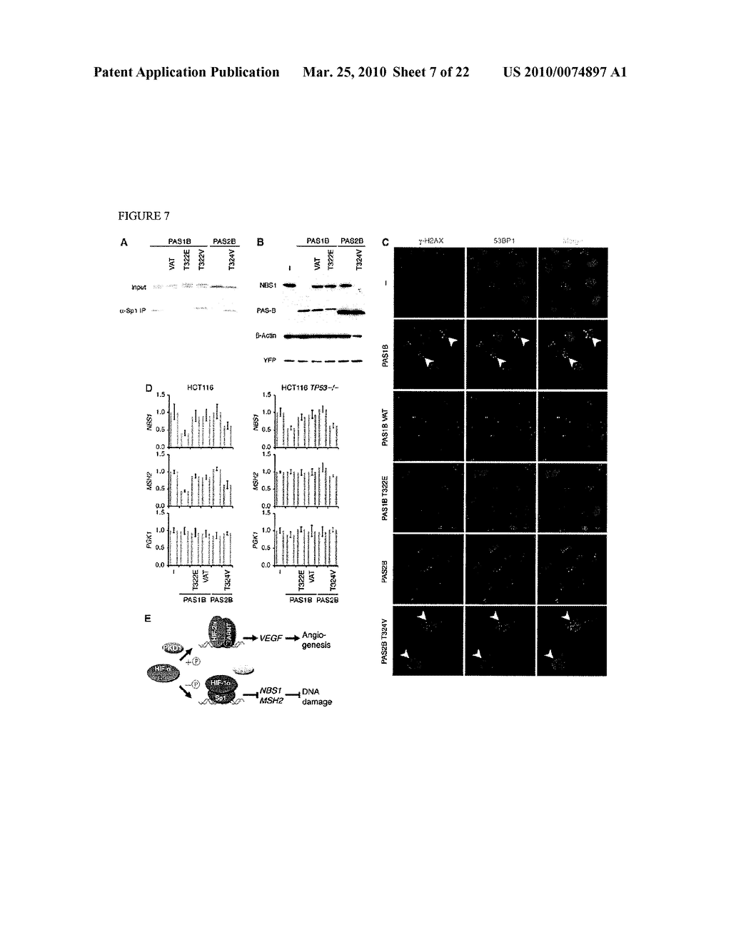 Methods and Compositions related to HIF-1 alpha - diagram, schematic, and image 08