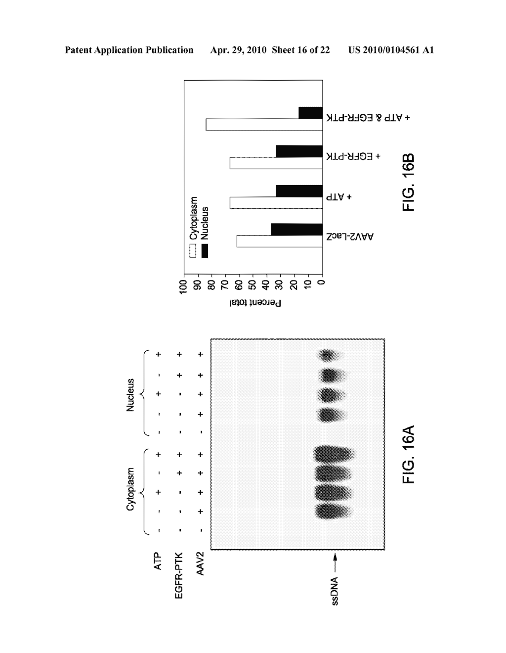 TYROSINE-MODIFIED RECOMBINANT rAAV VECTOR COMPOSITIONS AND METHODS FOR USE - diagram, schematic, and image 17