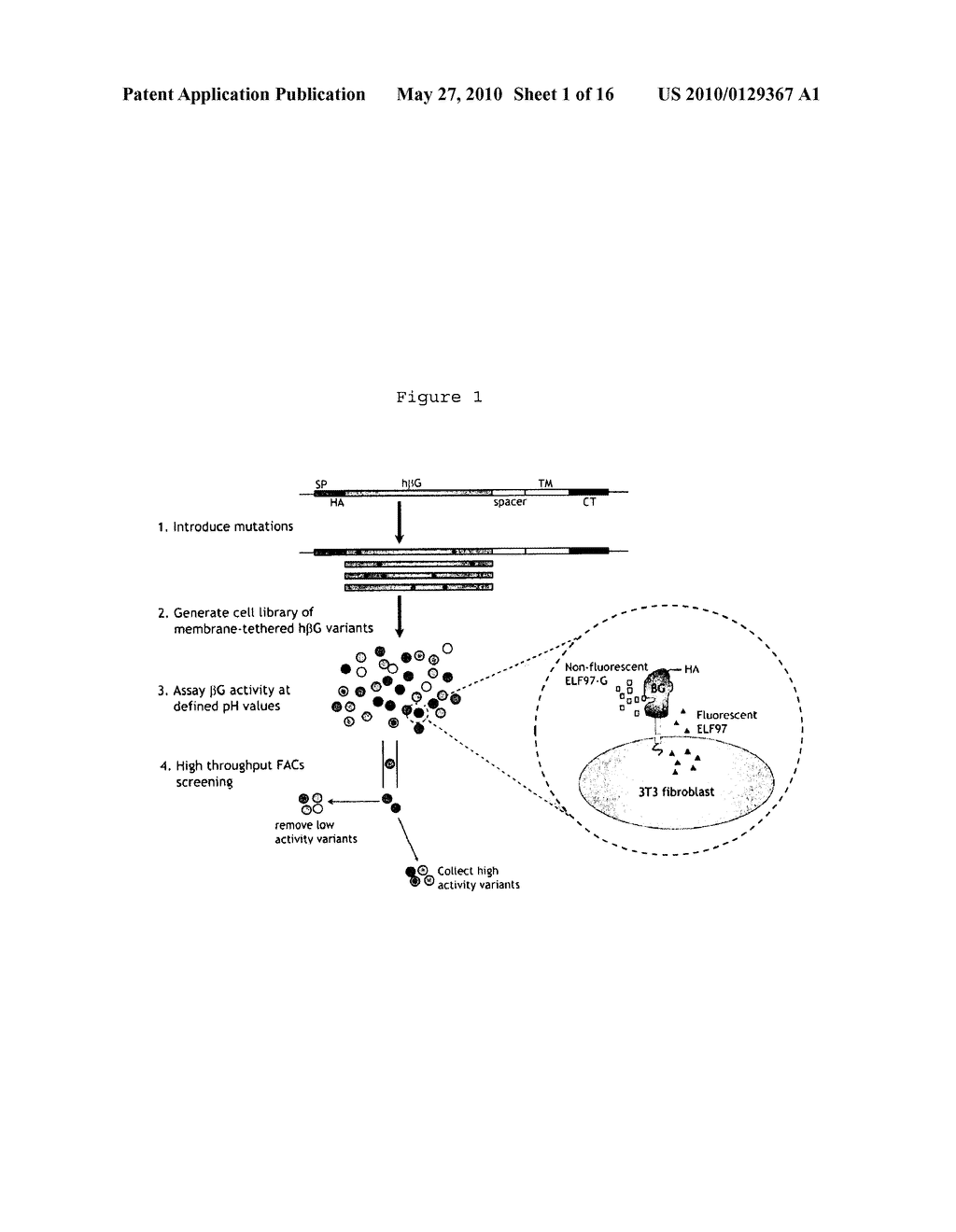 HUMAN BETA-GLUCURONIDASE MUTANTS WITH ELEVATED ENZYMATIC ACTIVITY UNDER PHYSIOLOGICAL CONDITIONS AND METHOD FOR IDENTIFYING SUCH - diagram, schematic, and image 02