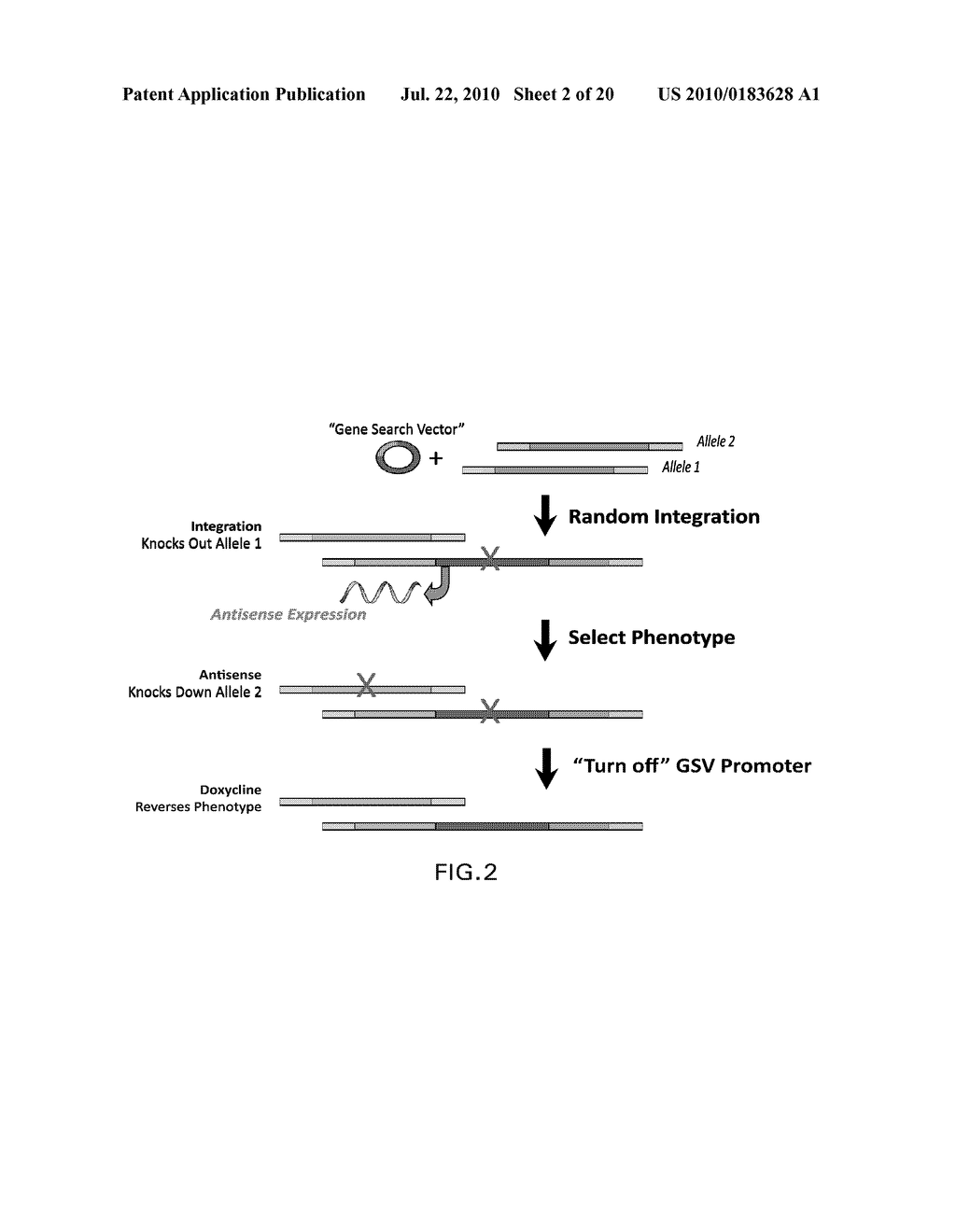 RANDOM HOMOZYGOUS GENE PERTURBATION (RHGP) WITH THERMAL ASSYMETRIC INTERLACED (TAIL)-PCR - diagram, schematic, and image 03
