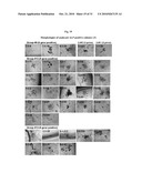 MULTIPOTENT/PLURIPOTENT CELLS AND METHODS diagram and image