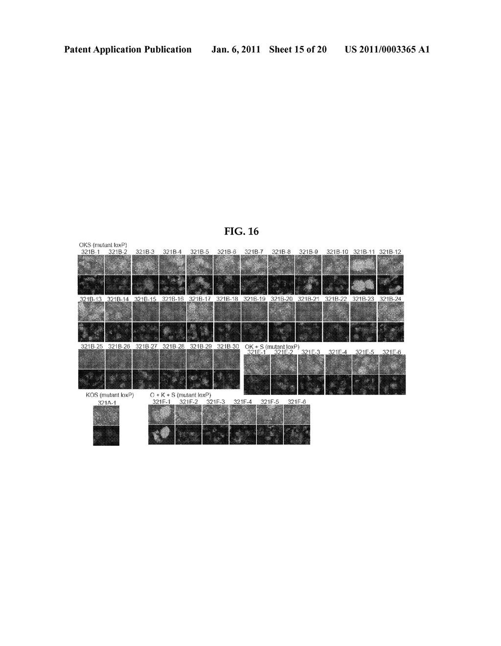 METHOD OF PREPARING INDUCED PLURIPOTENT STEM CELLS DEPRIVED OF REPROGRAMMING GENE - diagram, schematic, and image 16