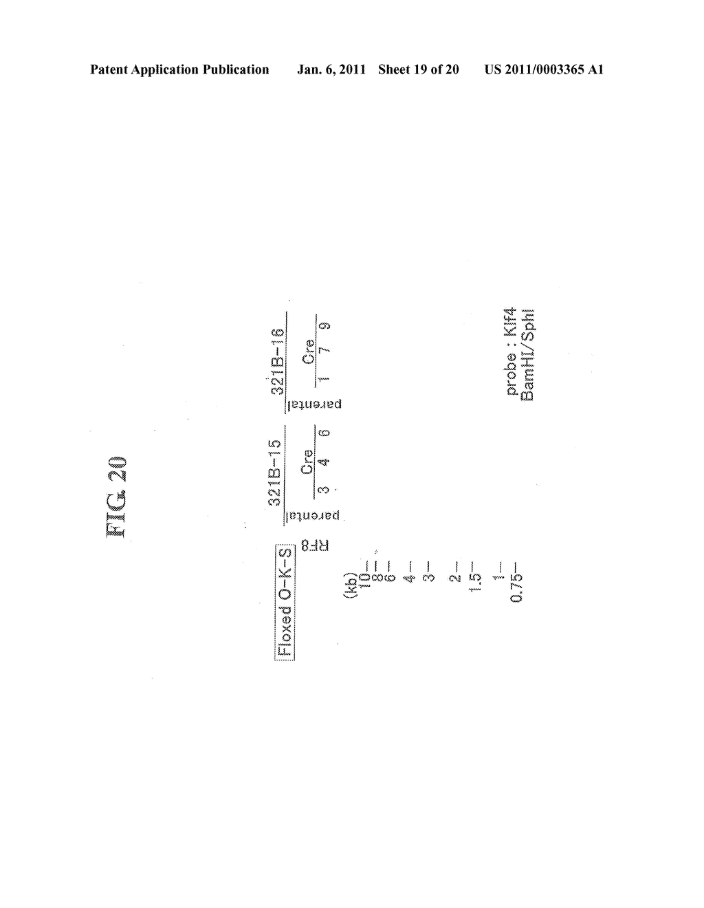 METHOD OF PREPARING INDUCED PLURIPOTENT STEM CELLS DEPRIVED OF REPROGRAMMING GENE - diagram, schematic, and image 20