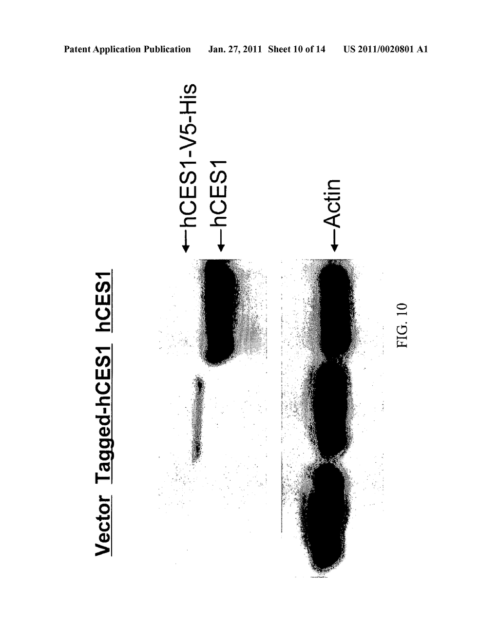 Carboxylesterase-1 Polymorphisms and Methods of Use Therefor - diagram, schematic, and image 11