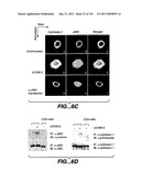 METHODS AND COMPOSITIONS FOR DETECTING THE ACTIVATION STATE OF MULTIPLE PROTEINS IN SINGLE CELLS diagram and image