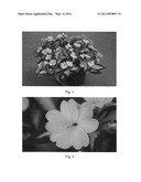 NEW GUINEA IMPATIENS PLANT NAMED  SAKIMP018  diagram and image