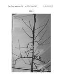Apple tree named  B3F44  diagram and image