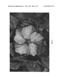Hibiscus Plant Named  DUP-BLKD  diagram and image