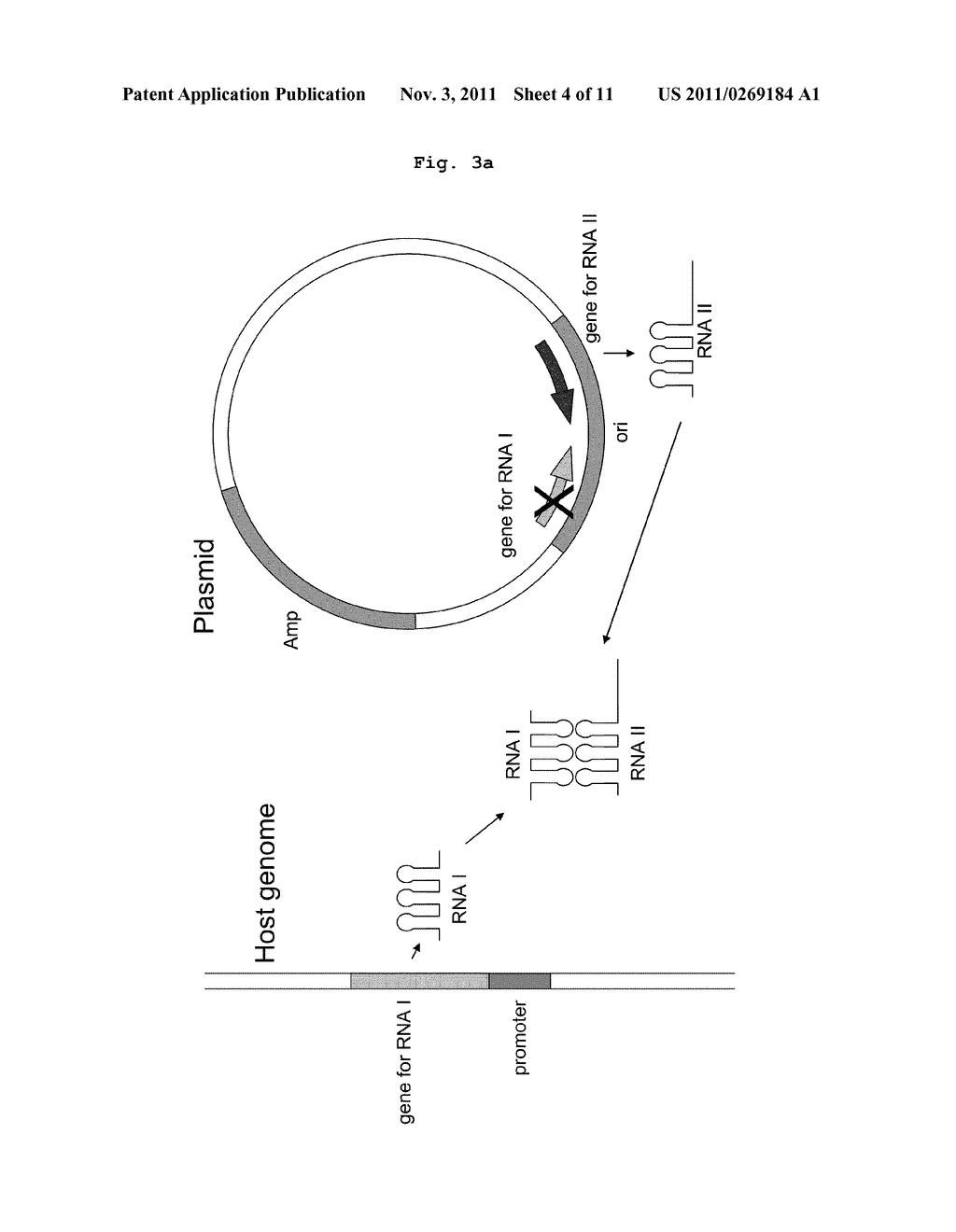 E Coli Diagram Plasmid IN E COLI - diagram