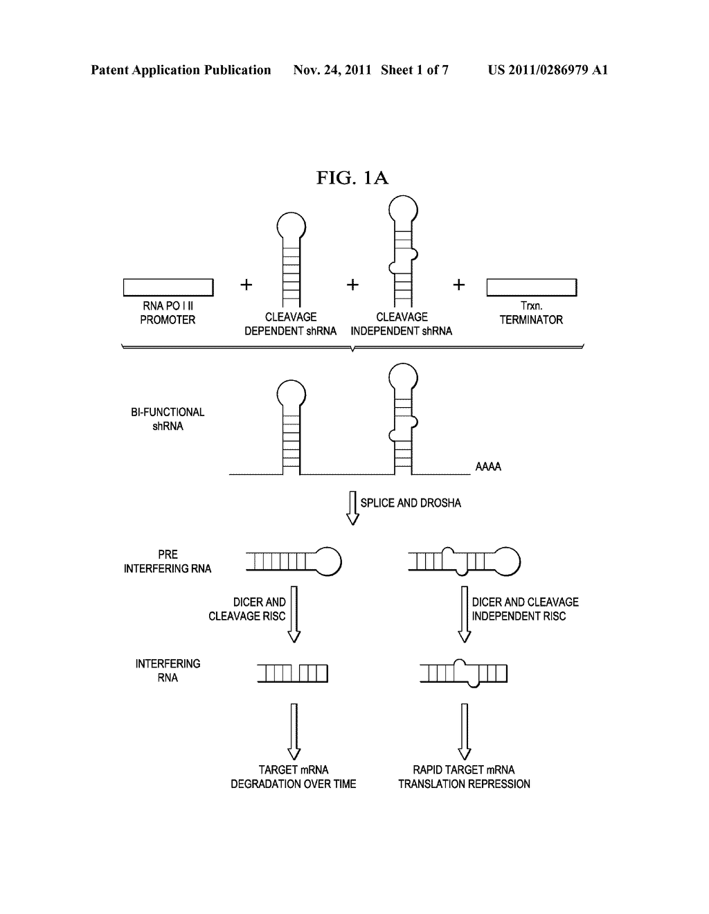 hairpin rna diagram box wiring diagram RNA Molecule chemosensitization by bi functional small hairpin rna bi shrna hairpin rna virus hairpin rna diagram