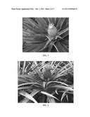 Pineapple plant named  Franklynn  diagram and image