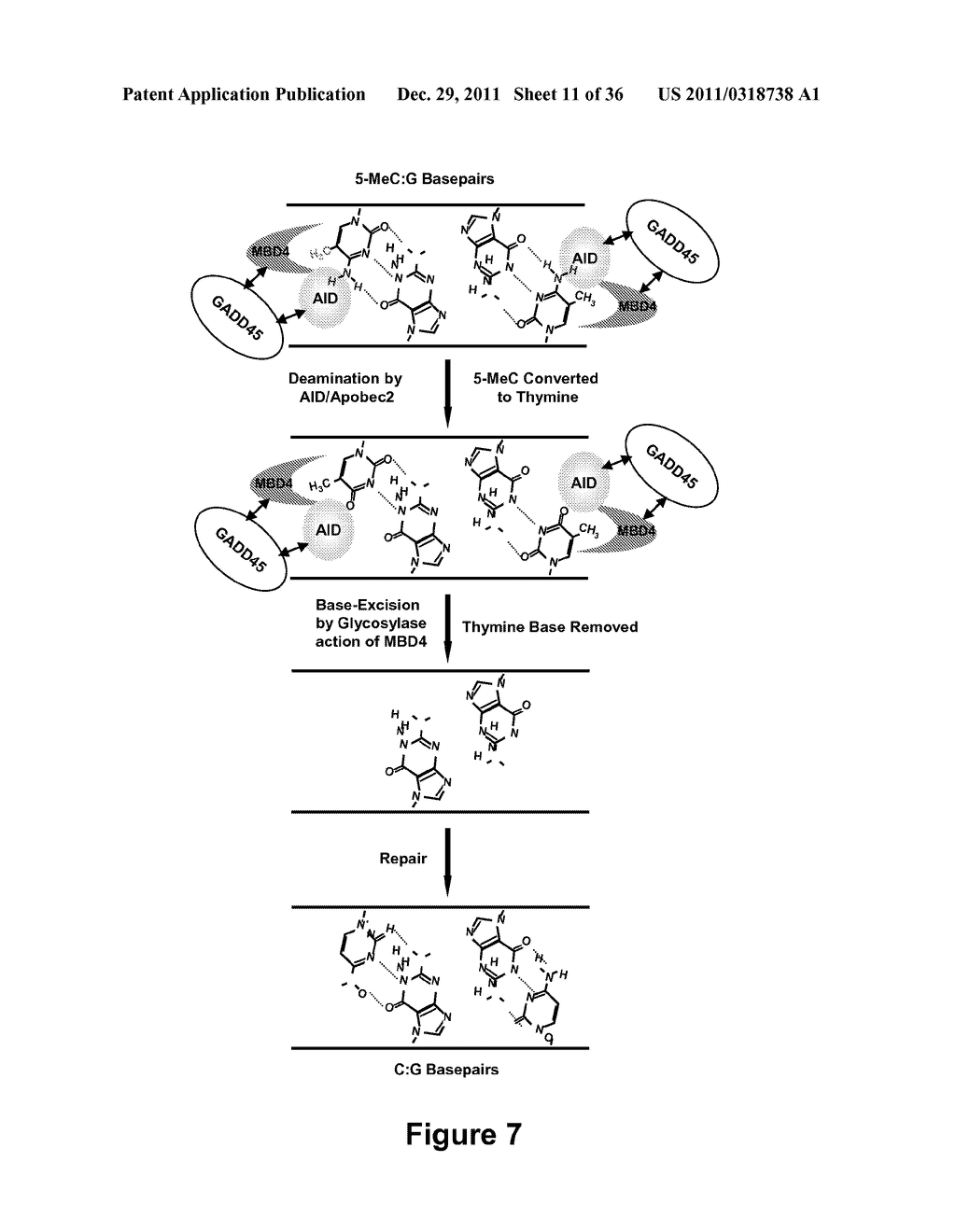 IDENTIFICATION AND REGULATION OF A NOVEL DNA DEMETHYLASE SYSTEM - diagram, schematic, and image 12