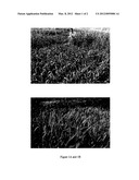 METHOD OF TANDEM CROPPING FOR INCREASED PRODUCTION OF FOOD GRAIN CROPS diagram and image