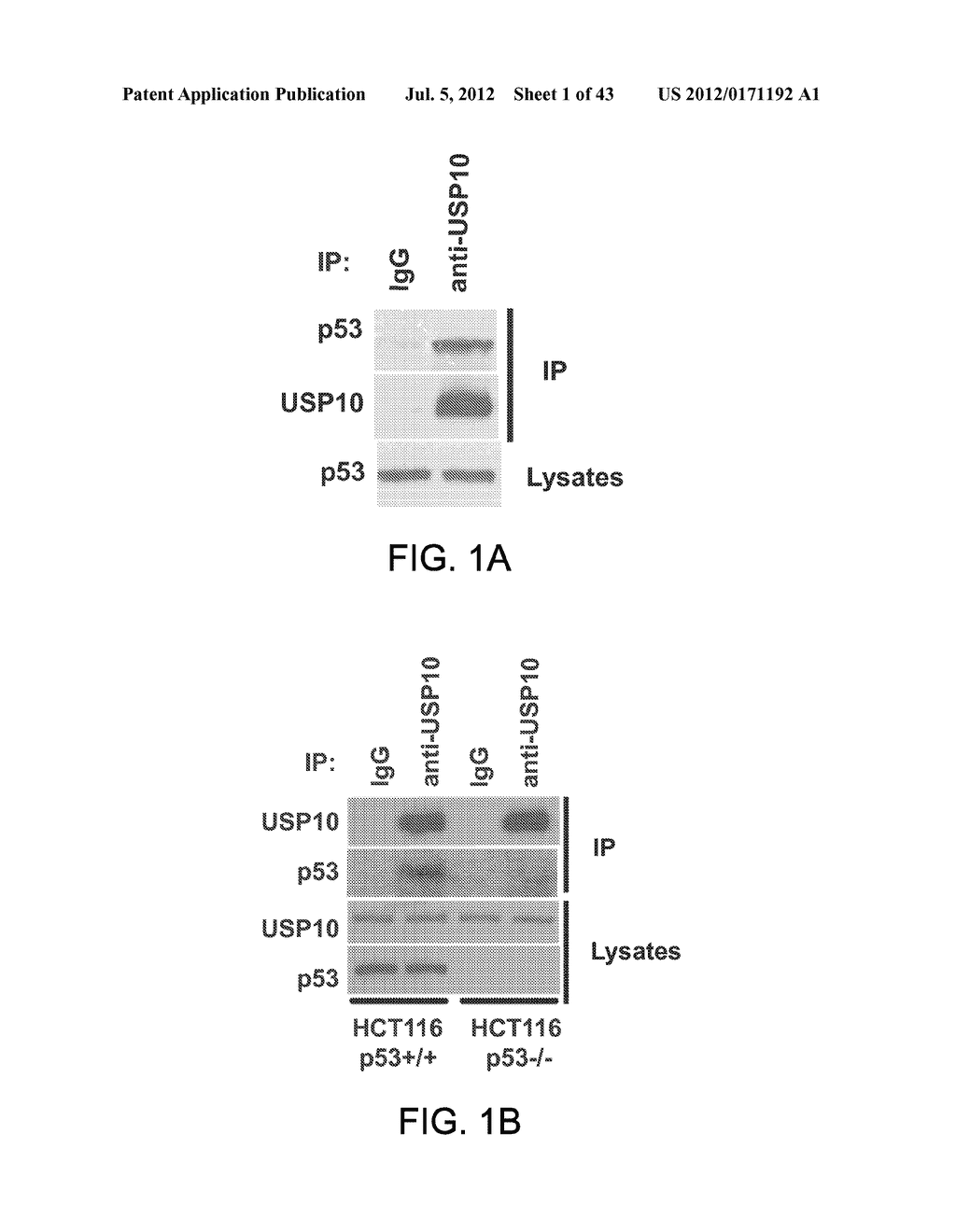 METHODS AND MATERIALS FOR MODULATING DEUBIQUITINASES AND UBIQUITINATED     POLYPEPTIDES - diagram, schematic, and image 02