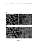 CELL IMAGING METHOD FOR VIEWING MICRORNA BIOGENESIS IN THE CELLS diagram and image