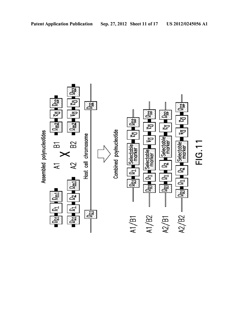 COMPOSITIONS AND METHODS FOR THE SAME ASSEMBLY OF POLYNUCLEOTIDES - diagram, schematic, and image 12