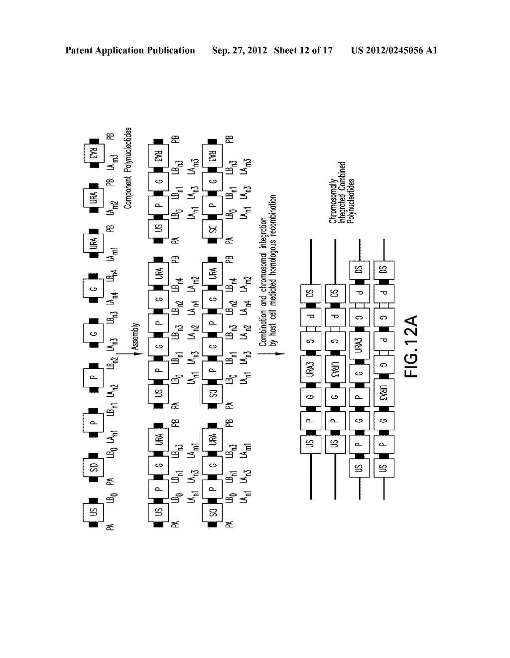 COMPOSITIONS AND METHODS FOR THE SAME ASSEMBLY OF POLYNUCLEOTIDES - diagram, schematic, and image 13