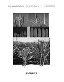 METHOD TO INCREASE CROP GRAIN YIELD UTILIZING COMPLEMENTARY PAIRED GROWTH     AND YIELD GENES diagram and image