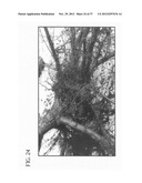 METHOD OF ACCELERATING THE GROWTH AND DEVELOPMENT OF TREES AND SHRUBS VIA     ENHANCED ROOT DEVELOPMENT diagram and image