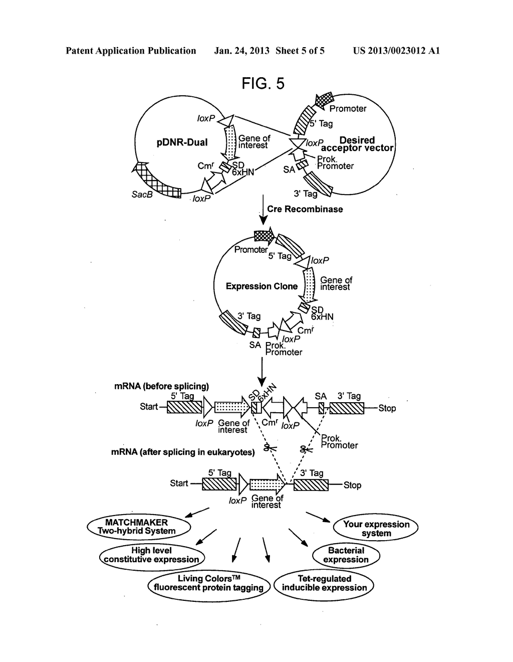Recombinase-Based Methods for Producing Expression Vectors and     Compositions for Use in Practicing the Same - diagram, schematic, and image 06