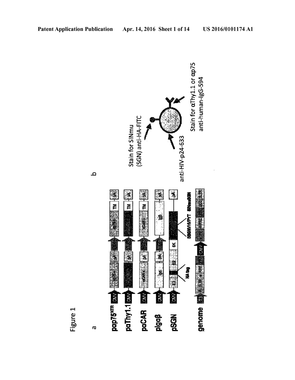 Lentiviral vectors with tropism to motor neurons comprising an lentiviral vectors with tropism to motor neurons comprising an antibody that binds to a pre synaptic terminal receptor on the neuromuscular junction and a ccuart Gallery