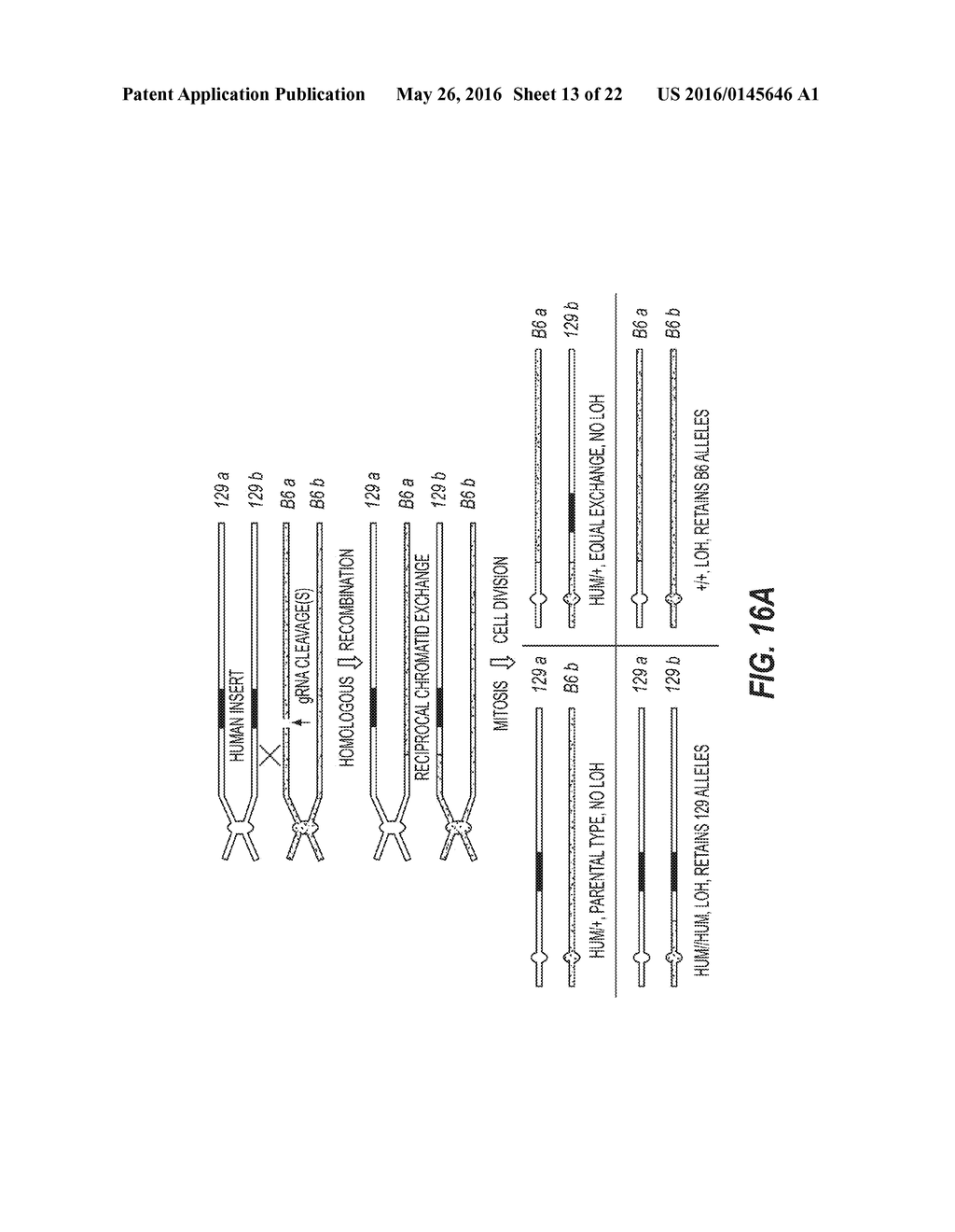 METHODS AND COMPOSITIONS FOR TARGETED GENETIC MODIFICATION USING PAIRED     GUIDE RNAS - diagram, schematic, and image 14